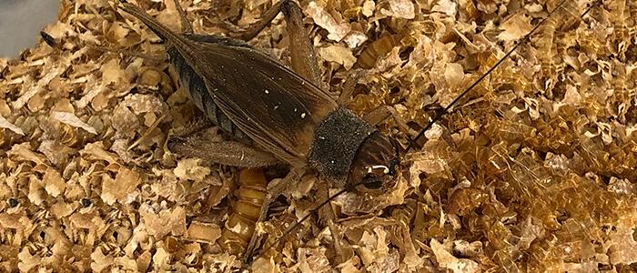 BioInsect.dk – spiselige insekter