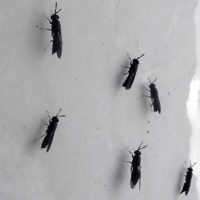 Soldaterflue - Black Soldier Fly, BSF / Hermetica illucens