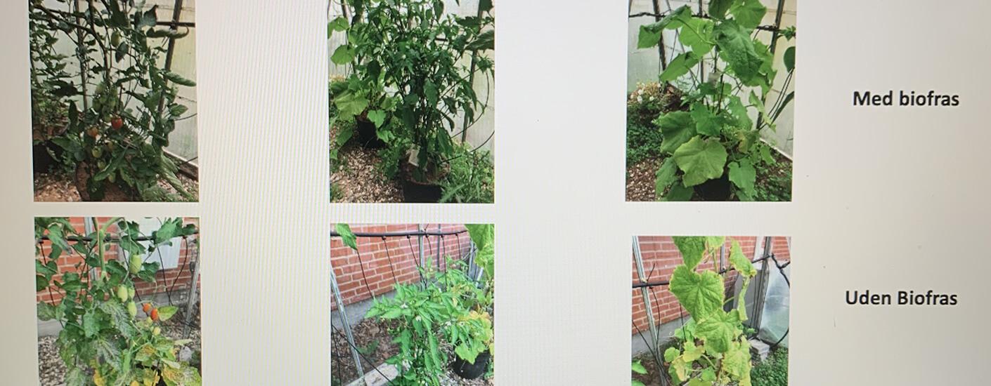 Status på Biofras forsøg i grøntsager i væksthus