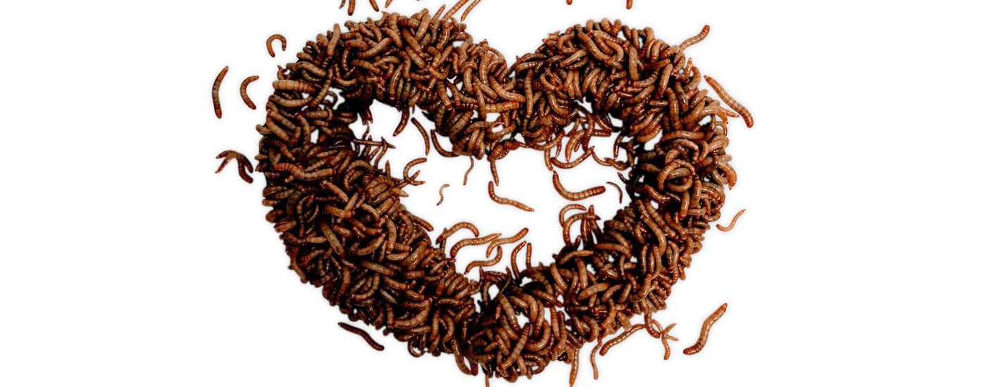 Hvorfor spise insekter?