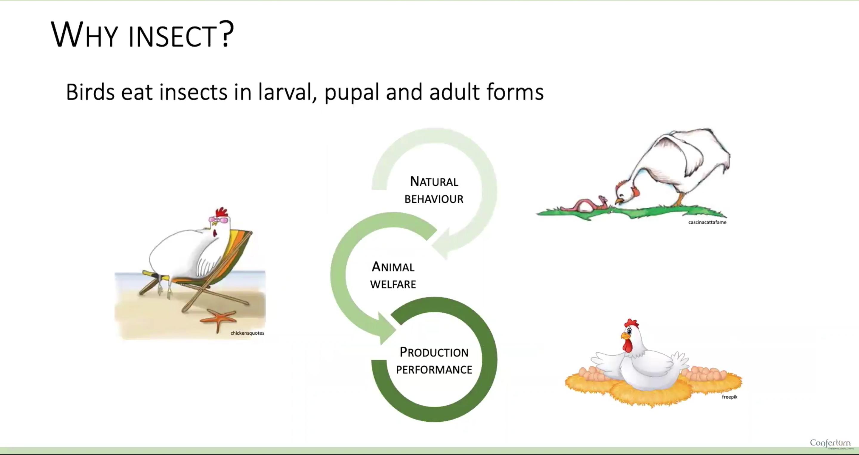 Er det godt for høns at spise insekter?