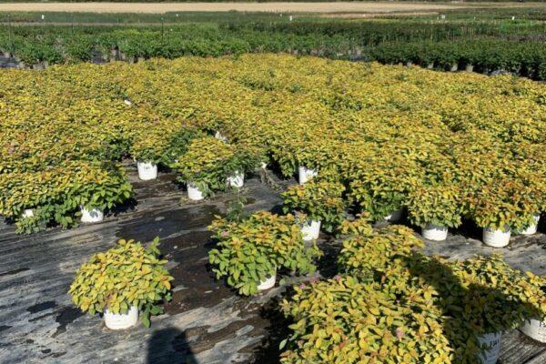 Gunnar-Chr.-Planteskole-Spiraea-Double-Play-m.-BioFras-Sept.-21-2-980x1307