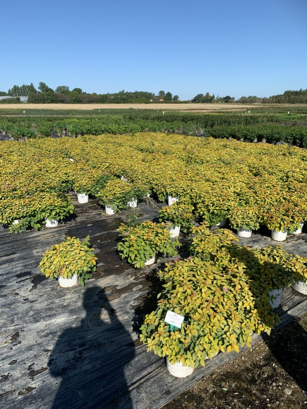 BioFras virker godt på Spiraea hos Gunnar Christensens Planteskole A/S